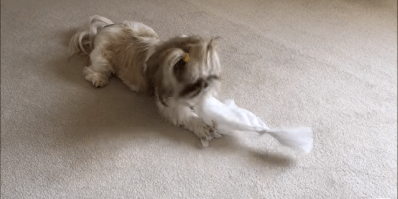 Giving Lacey something to do ? | Ripping up paper | Hi Lexi ? | Silly Shih Tzu dog ?