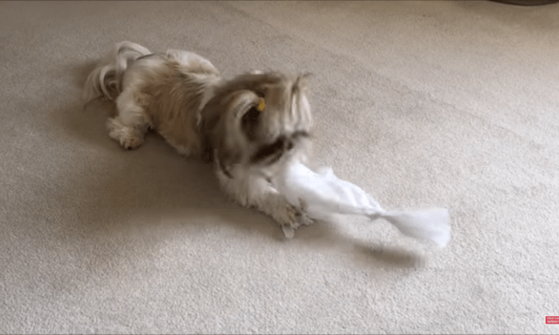 Giving Lacey something to do ?   Ripping up paper   Hi Lexi ?   Silly Shih Tzu dog ?