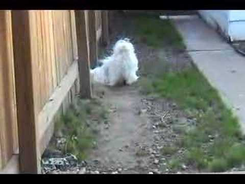 Sushi,the Shih Tzu, barking very loudly!