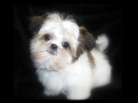 Teacup Shih tzu Puppies Cute shihtzu pups playing cutiest baby pet puppy compilation.