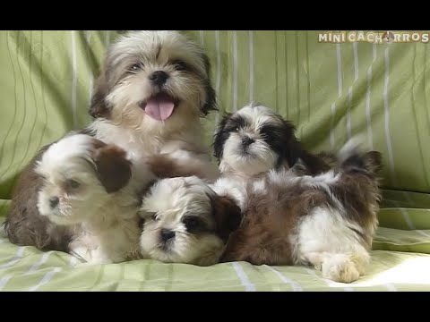 Adorables Mini Cachorros Shih Tzu con su Mamá