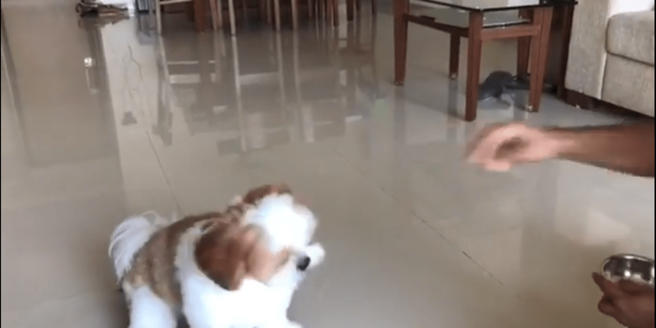 Wally the shihtzu performs tricks for treats