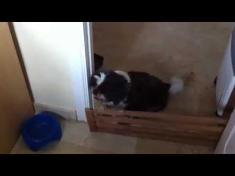 Shih Tzu dog barking and begging