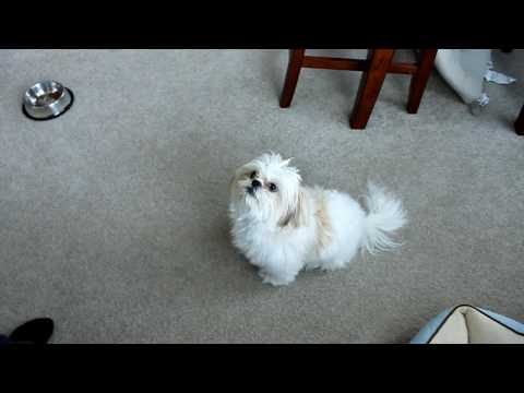 Dog Training: Dancing Shih tzu puppy FurFur