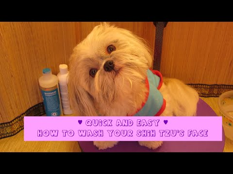 Quick and Easy Shih Tzu face wash – prevent tear stains – How to groom your Shih Tzu