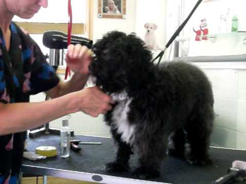 'Molly' Shih Tzu Poodle Cross being Groomed @ Dirty-Dogs.co.uk