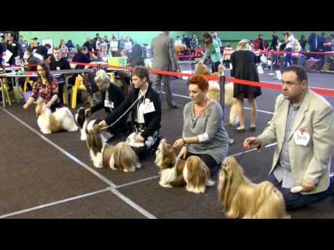 CACIB Drzonków 2016 shih tzu Best of Breed