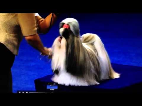 Shih Tzu – National Dog Show