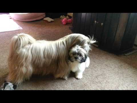 shih tzu playing with puppy