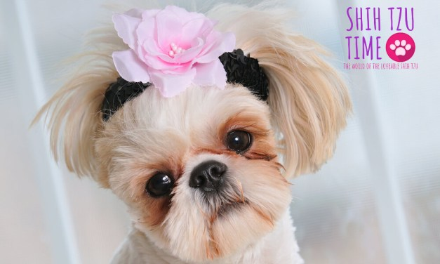How To Submit Your Shih Tzu To Be Featured as Shih Tzu Star of the Month