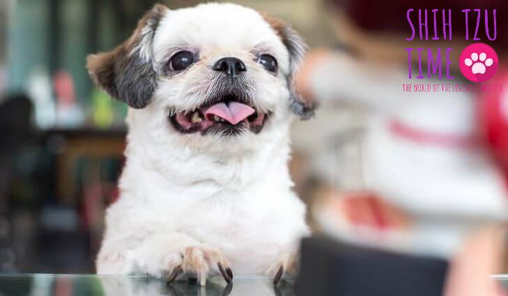 Adult Shih Tzu Chewing