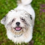 How to Get Your Shih Tzu to Stop Chewing