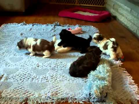 Imperial Shih tzu Puppies Playing