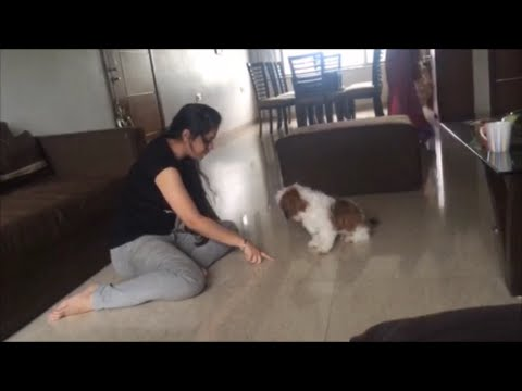 WAGG THAT TAIL DOG TRAINING – JUNIOR THE SHIH TZU BARKS AND ROLLS!
