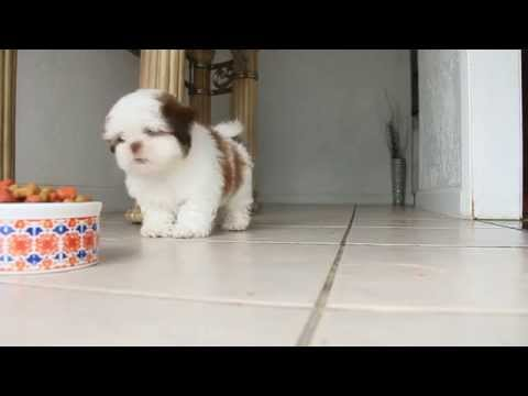 Shih Tzu Puppy & His Cuteness