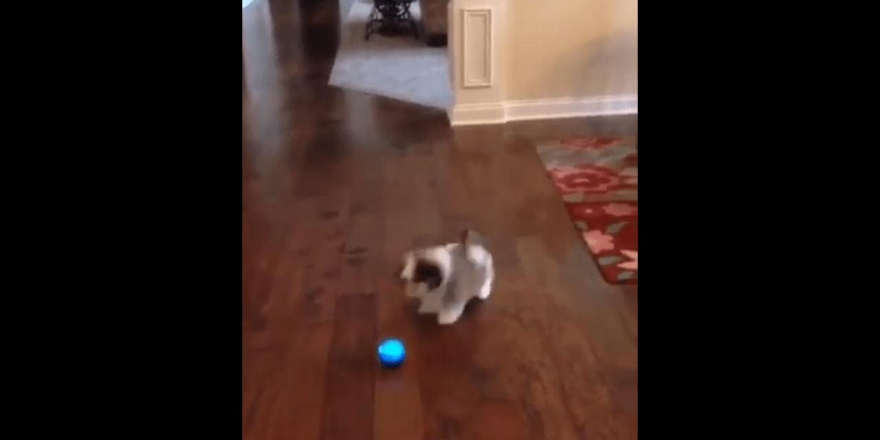 Puppy Shih Tzu Barking and Playing with a Ball
