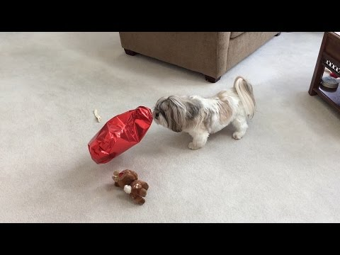 Is Silly Lacey Afraid Of A Balloon? – Shih Tzu Dog