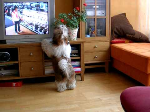 Shih tzu, crazy barking