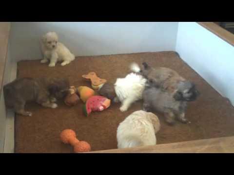 Agreatdog Shih Tzu Video Rosy Babies