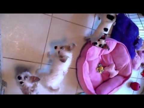 Shih Tzu/terrier mix puppies playing
