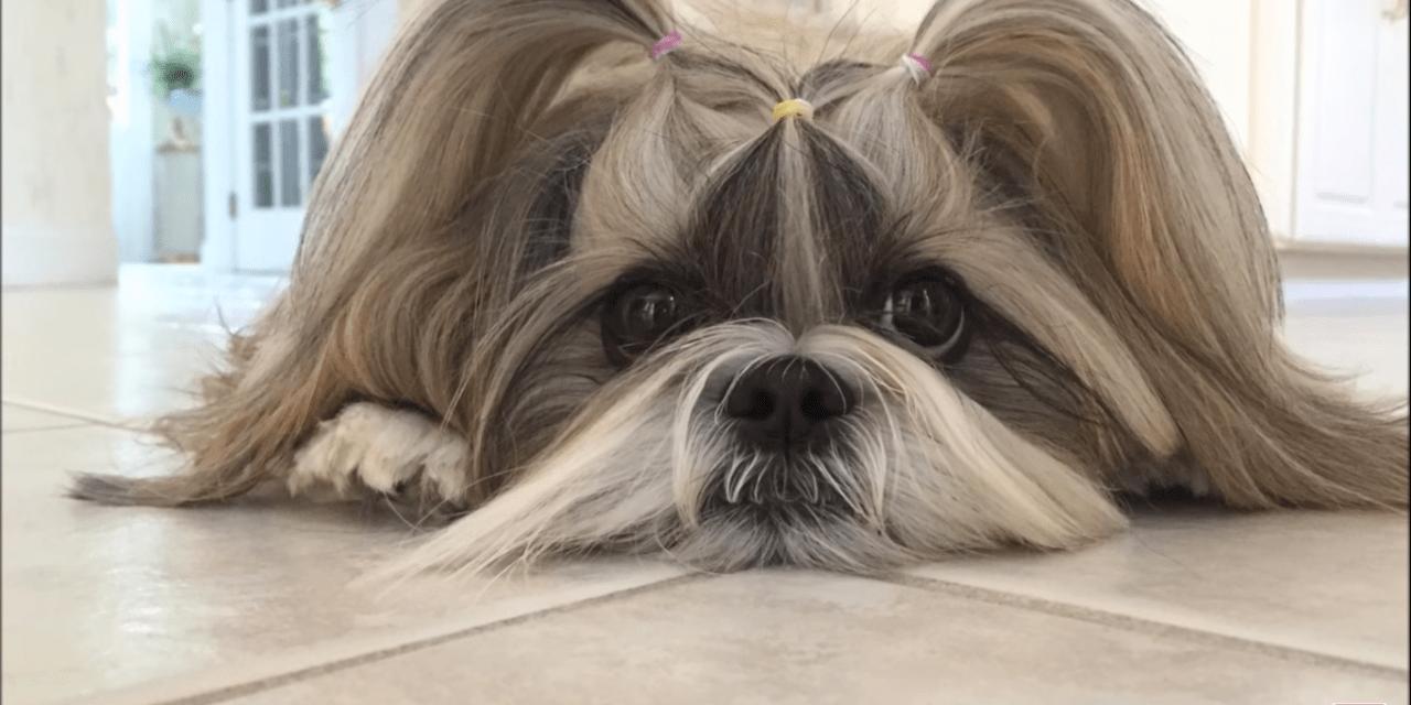 Lacey the snow ❄⛄ bunny | Cute Shih Tzu dog ?