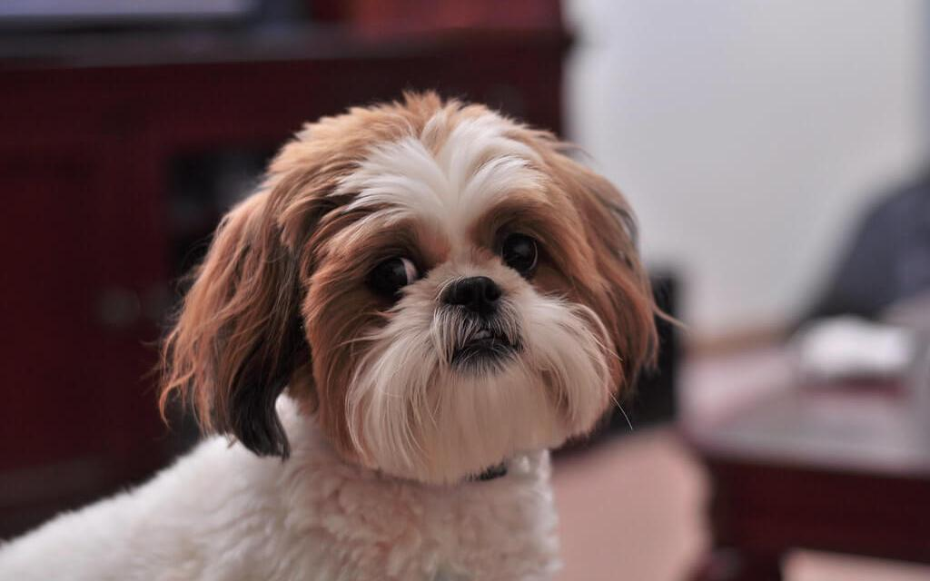 Shih Tzu Barking Tips
