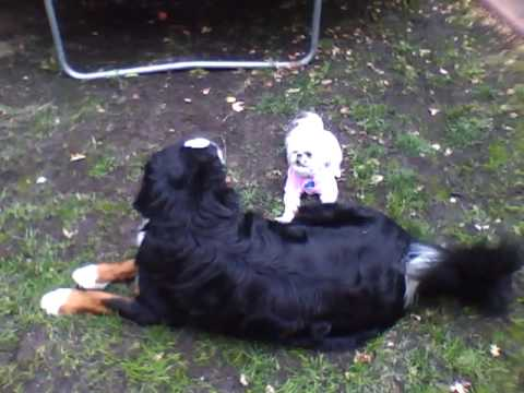 Funny Shih Tzu, Huge Bernese Mountain Dog