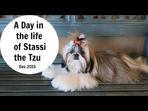 A Day In The Life Of Stassi The Tzu Cute Shih Tzu Puppy