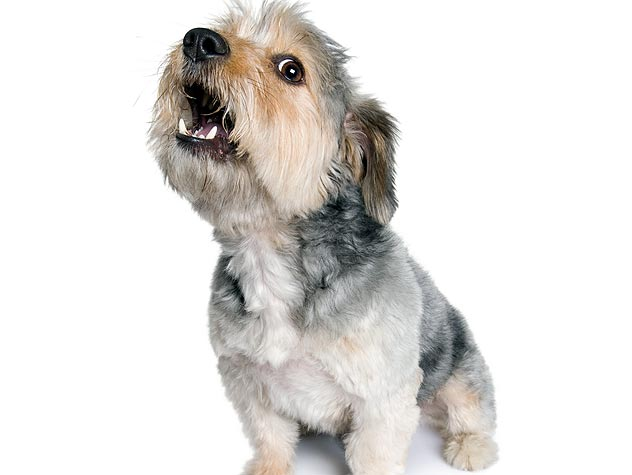 Shih Tzu Barking Help And Tips
