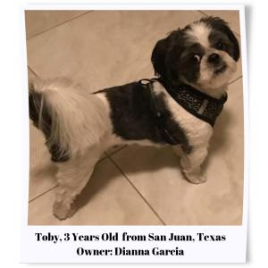 Toby Black and White Shih Tzus