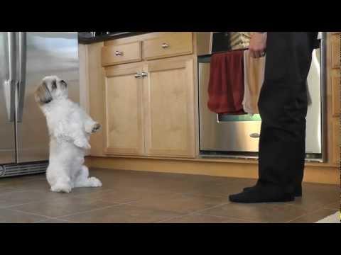 Shih Tzu Training – Cooper's new trick.