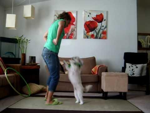 Shih tzu-Dancing Dog.