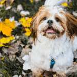 Causes and Treatments for a Vomiting Shih Tzu