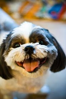 Having a laugh? This little Shih Tzu puppy is!