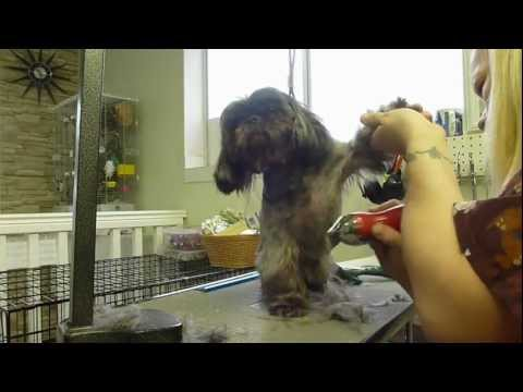 maltese shih-tzu (malshi) puppy barking at the mirror