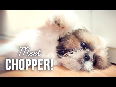 Meet Chopper, My Shih Tzu Puppy.