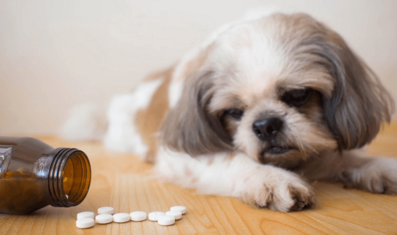 SYMPTOMS OF FEVER IN A SHIH TZU