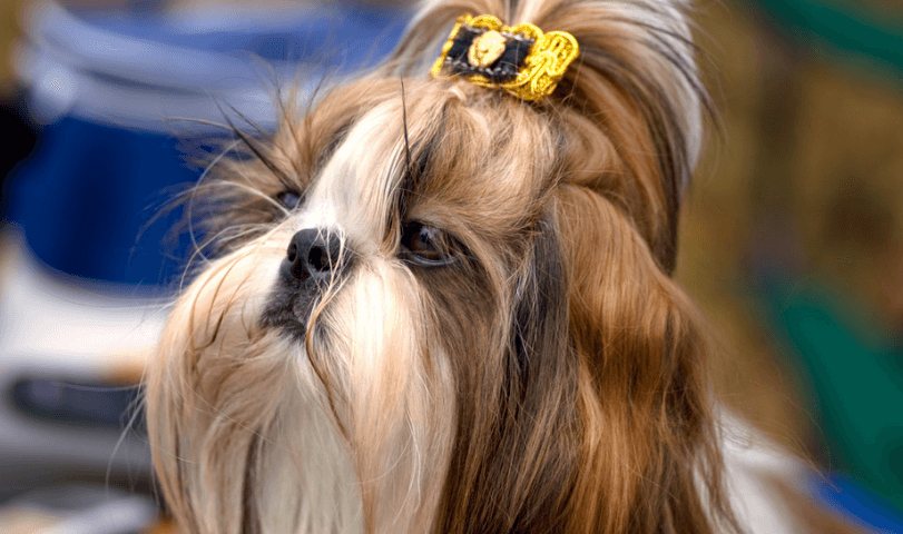 WHAT TO DO WHEN YOUR SHIH TZU HAS A FEVER