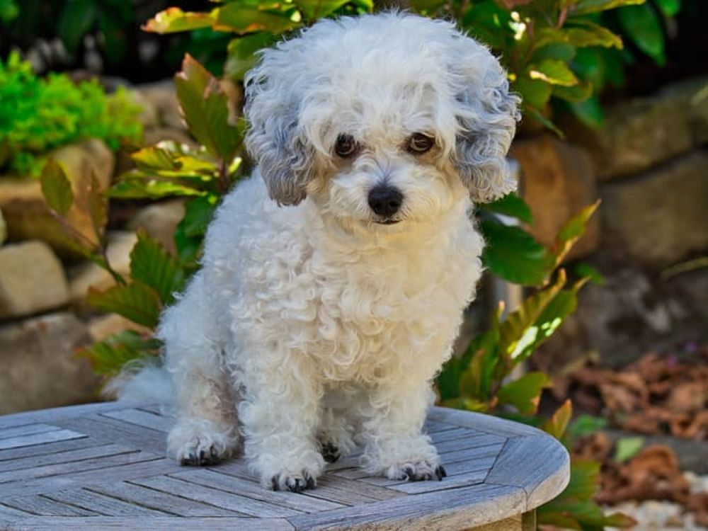 ShihPoo: Shih Tzu and Toy Poodle