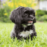 Potty Training Your Shih Tzu