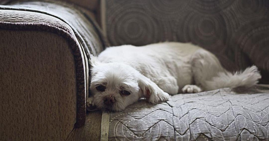 sleepy shih tzu on the couch