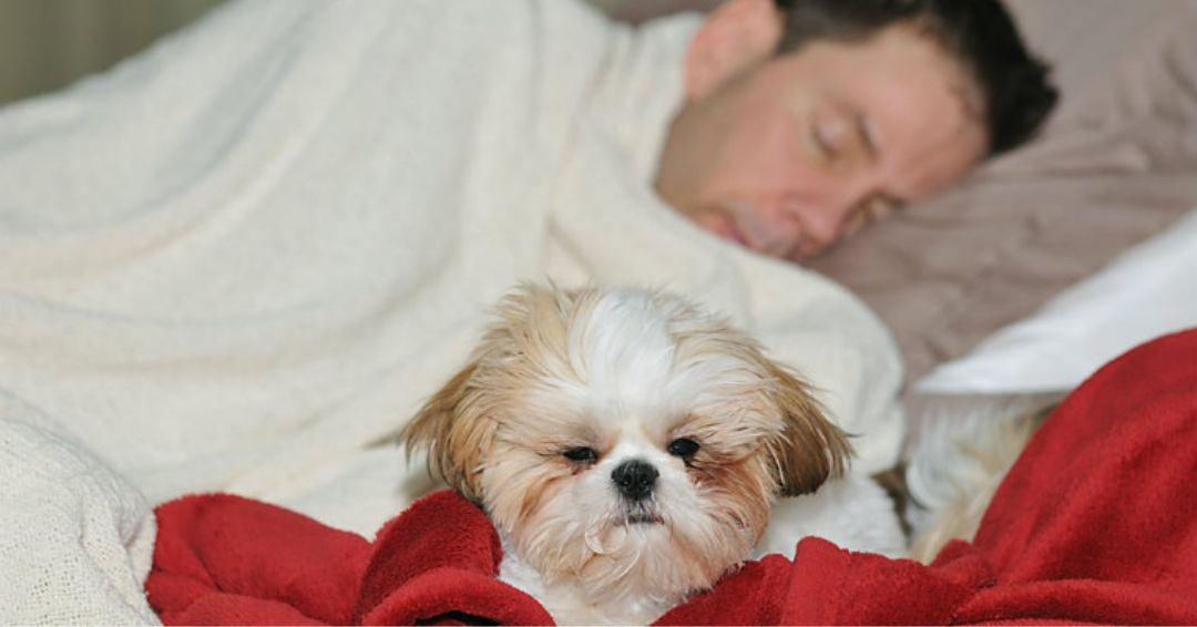 shih tzu on bed with sleeping owner