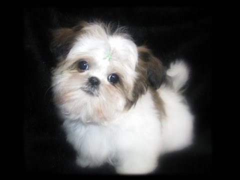 Teacup Shih Tzu Puppies Cute Shihtzu Pups Playing Cutiest Baby Pet Puppy