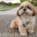Guide To Top Shih Tzu Hair Cuts And Hair Styles Shih Tzu World