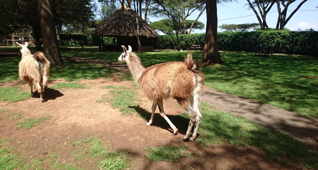 Llamas in Kenya