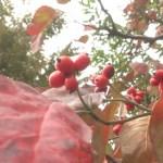赤い実を付けるハナミズキと街路樹