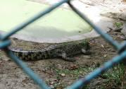 Crocodile at Davao Crocodile Park