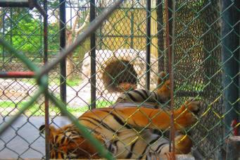 Tiger at Davao Crocodile Park