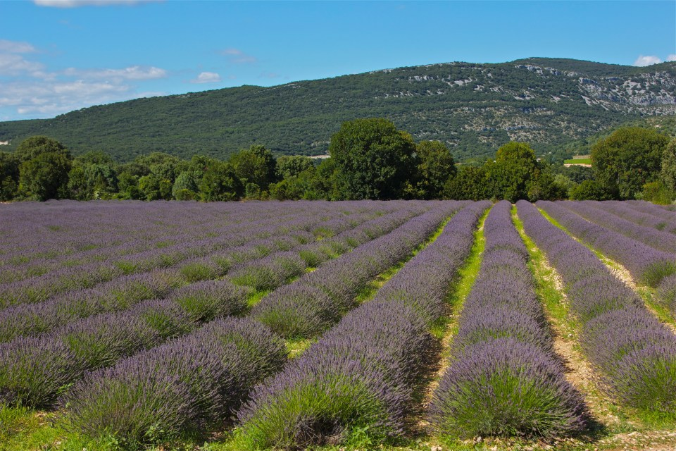 Lavender fields, Ardeche, France