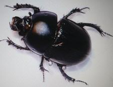 Monsoon Beetle